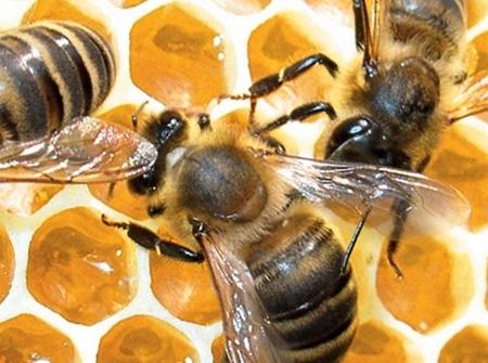 Опыту использования продуктов пчеловодства при нарушениях кровообращения уже много лет.