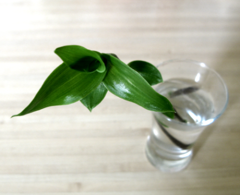 Скромное домашнее растение, представленный на фото – одно из наиболее эффективных средств против варикоза.