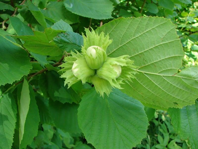Отвар из свежих листьев лещины (орешника)