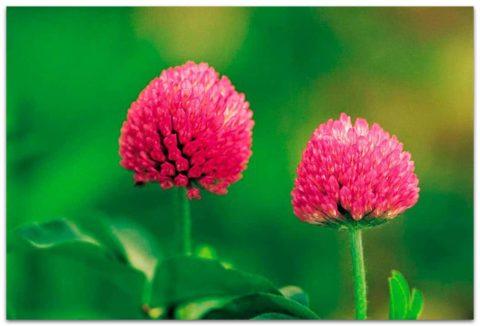 Красный клевер – основной компонент лекарственных сборов при патологиях сосудов