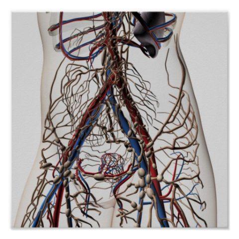Лимфатические и кровеносные сосуды — область работы ангиолога