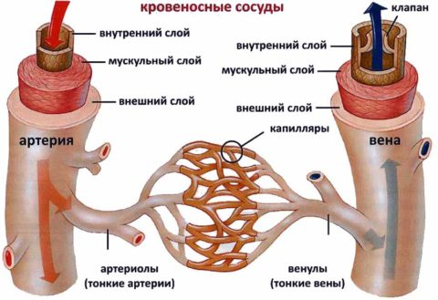 На фото – отличие в строении артерий и вен