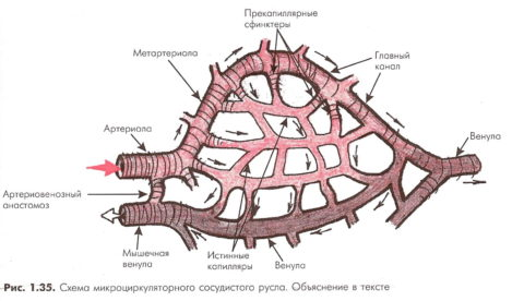 С помощью мельчайших капилляров происходит насыщение тканей кислородом и питательными веществами