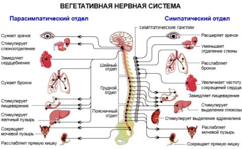 Симпатический и парасимпатический отделы ВНС имеют противоположное влияние на организм
