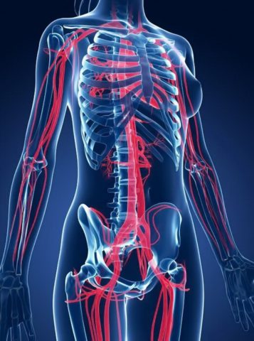 ССС – важный элемент обеспечения гомеостаза в человеческом организме