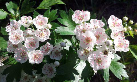 Цветы боярышника и его плоды – проверенный метод борьбы с атеросклерозом сосудов головного мозга