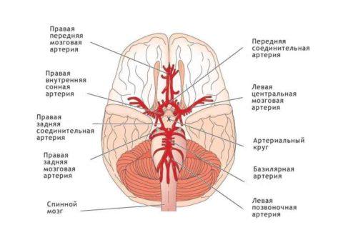 Кровоснабжение органов ЦНС