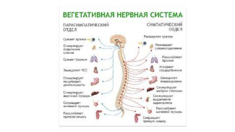 Эффекты двух отделов вегетативной системы