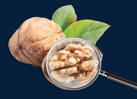 Грецкие орехи – это лучшее средство для чистки сосудов