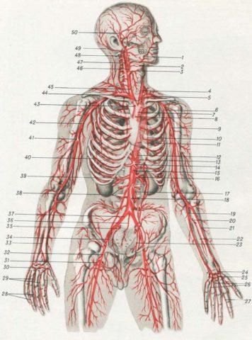 Ко всем органам и тканям отходят ветви питающих их артерий (на фото)