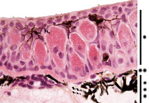 Микропрепарат тканей яичка
