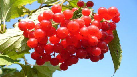 Польза ягод калины для сосудов.