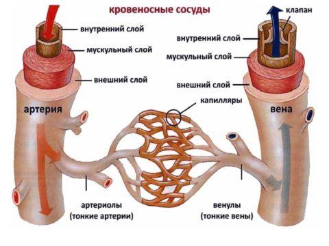 Протяженность капиллярной сети насчитывает около 100 тысяч км