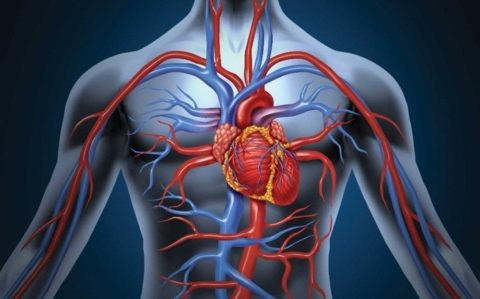 Сердце это орган обеспечивающий протекание процесса кровообращения.