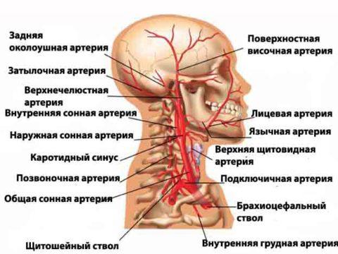 Схема кровоснабжения мозга