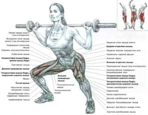 Схема задействованных при приседаниях мышц