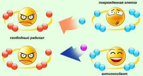 Свободные радикалы накапливаются в поврежденных венах и могут вызвать повреждения клеточных мембран