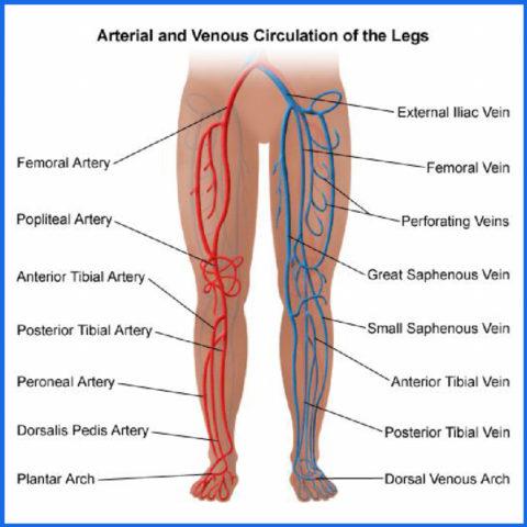 В кровоснабжении участвует несколько крупных сосудов
