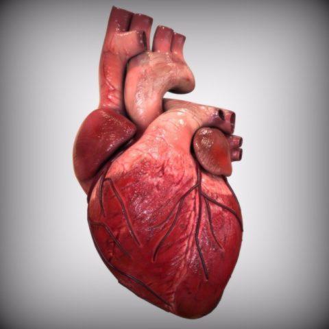 В момент расслабления сердце имеет вытянутую, эллипсоидную форму