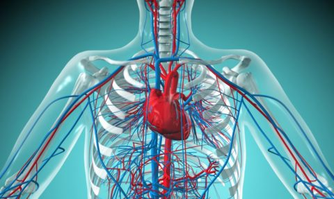 Замкнутая система кровообращения выполняет в организме множество функций