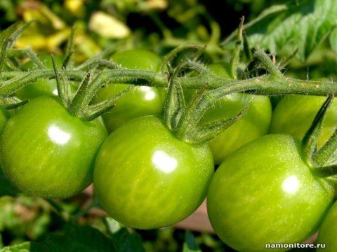Зеленые помидоры – народный «препарат» для борьбы с варикозным расширением вен.