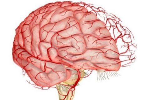 Артерии, питающие головной мозг, называются церебральными