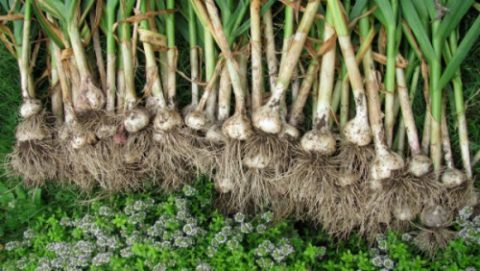 Для приготовления эффективного средства рекомендуются осенние овощи