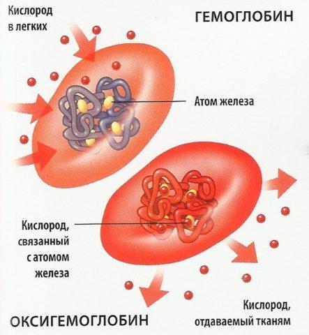 Главная функция эритроцитов – перенос кислорода в организме