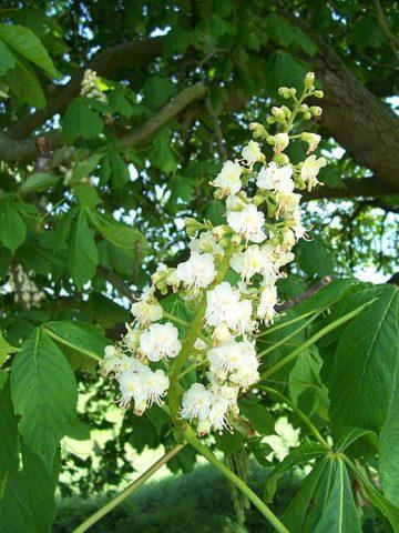 Из цветов отжимают «целебный сок» и готовят настой.