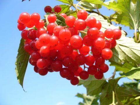 Красная калина придает очищающему напитку не только полезные свойства, но и отличный вкус.