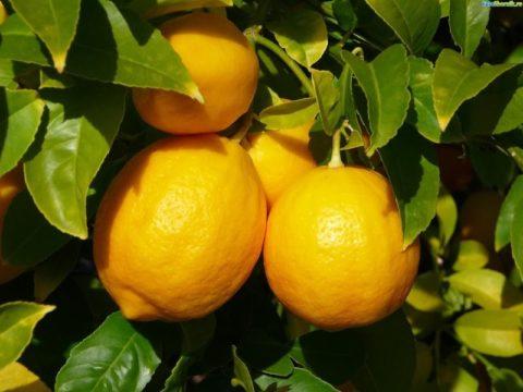 Помимо очищения лимоны также способствуют насыщению организма витаминами.