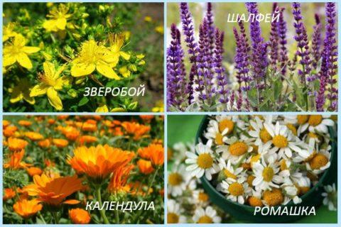 Ромашка, календула, шалфей и зверобой, представленные на фото – наиболее эффективные травы для лечения и укрепления сосудов ног.