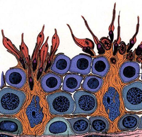 Сперматогенез. Клетки Сертоли и молодые сперматозоиды