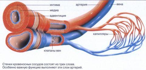 Строение артерий и вен несколько различается (см. фото)