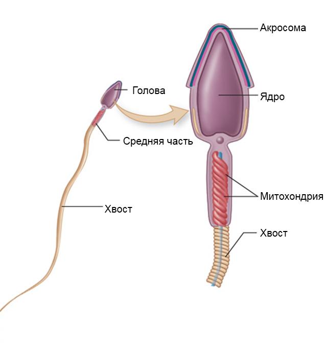 znachenie-spermi-dlya-muzhchini