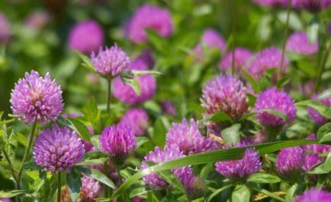 Цветы обычного лугового клевера помогут очистить артерии и предотвратить развитие патологий системы кровообращения.