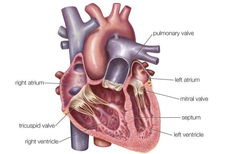 Основной насос человеческого тела.