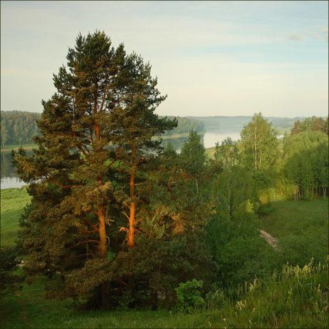 Для сбора шишек следует выбирать молодые и здоровые дикорастущие деревья.