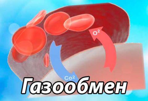 Эритроциты обеспечивают газообмен в тканях организма