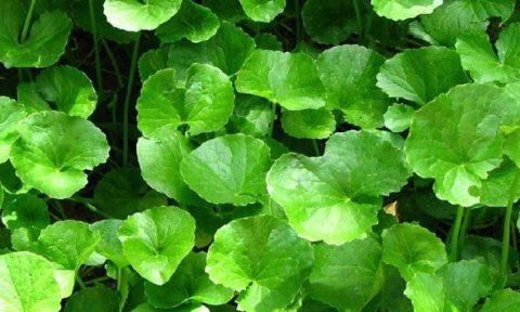 Гота кола – тонизирующее растение.