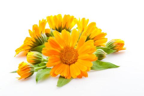 Календула – лекарственное растение.