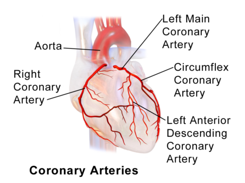 Коронарные артерии – сосуды, питающие сердце, выходят из аорты вблизи ее клапанов.