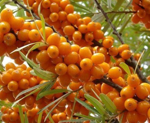 Масло из ягод облепихи можно использовать для внутреннего и наружного применения.