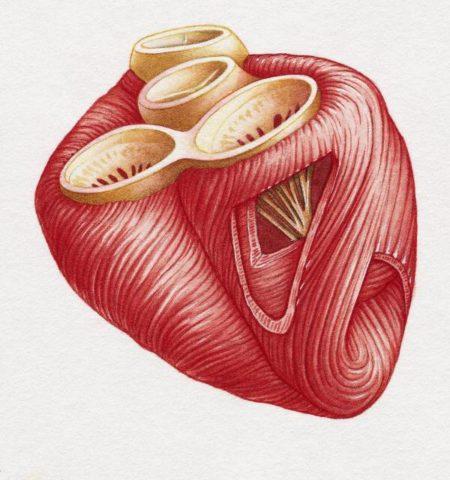 Мед укрепляет сердечные мышцы