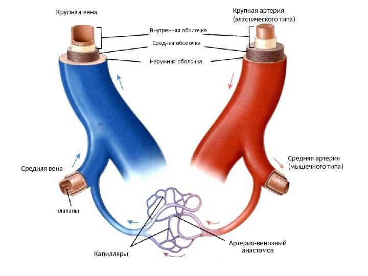 На фото – схематичное изображение артериовенозной сети в организме человека