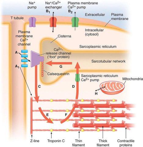 На фото представлена схема генерации потенциала действия в кардиомиоцитах.