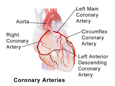 На фото представлены основные сосуды, питающие сердечную мышцу.