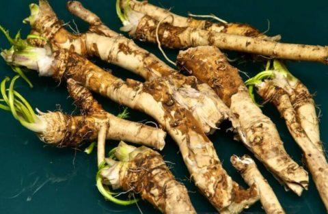 Очистить сосуды помогут острые овощи, в том числе, корневища обыкновенного хрена.