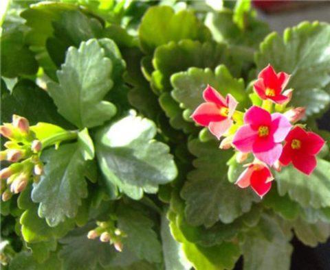Полезное растение неприхотливо в уходе и может выращиваться в квартире.