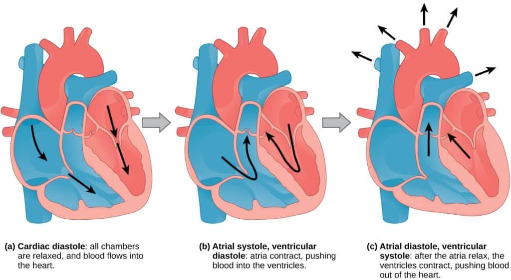 Систола и диастола формируют сердечный цикл.